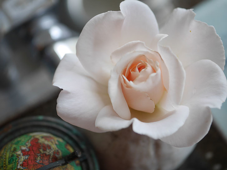 マーガレット・メリル(Margaret Merril)の2番花が咲いた。木立バラ。2021年-006.jpg