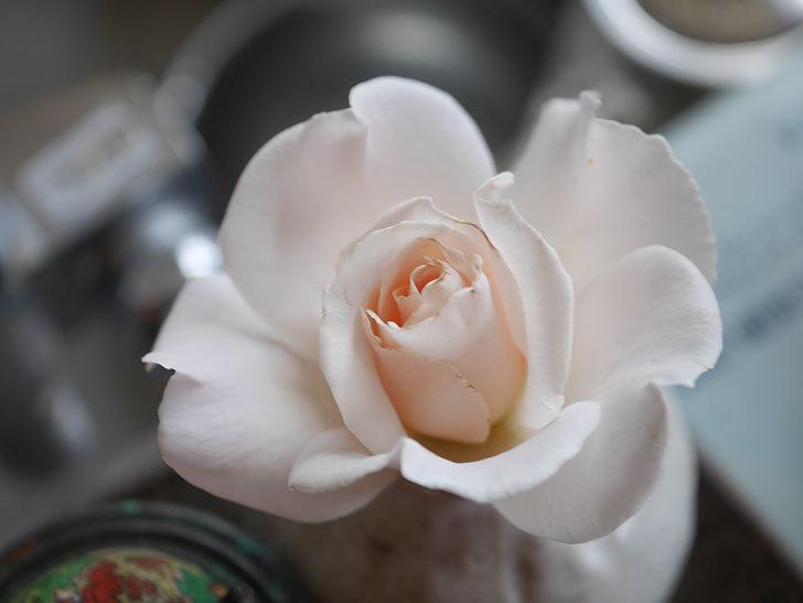 マーガレット・メリル(Margaret Merril)の2番花が咲いた。木立バラ。2021年-007.jpg