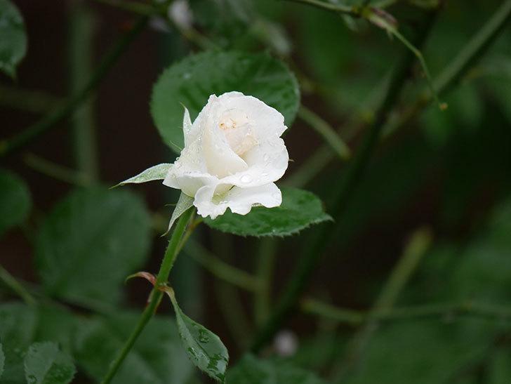 マーガレット・メリル(Margaret Merril)の2番花が更に咲いた。木立バラ。2020年-001.jpg