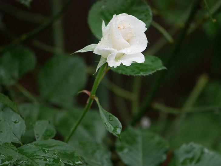 マーガレット・メリル(Margaret Merril)の2番花が更に咲いた。木立バラ。2020年-002.jpg