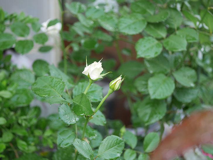 マーガレット・メリル(Margaret Merril)の2番花が更に咲いた。木立バラ。2020年-003.jpg