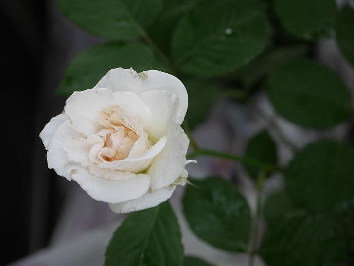 マーガレット・メリル(Margaret Merril)の2番花が更に咲いた。木立バラ。2020年-006.jpg