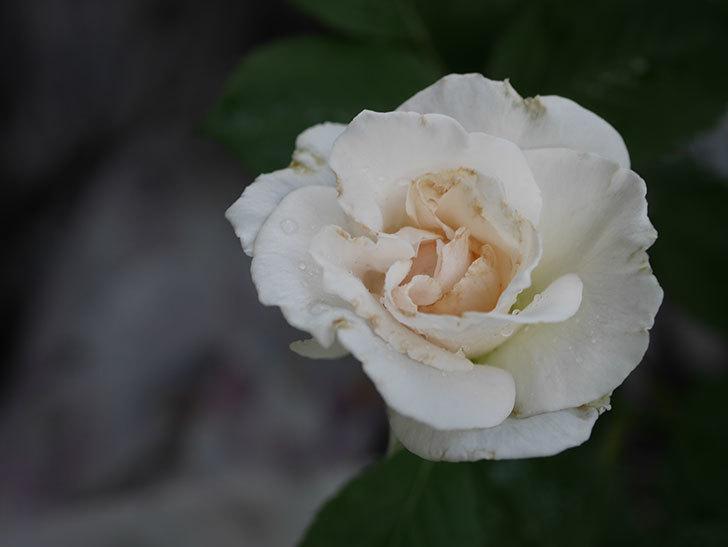 マーガレット・メリル(Margaret Merril)の2番花が更に咲いた。木立バラ。2020年-007.jpg