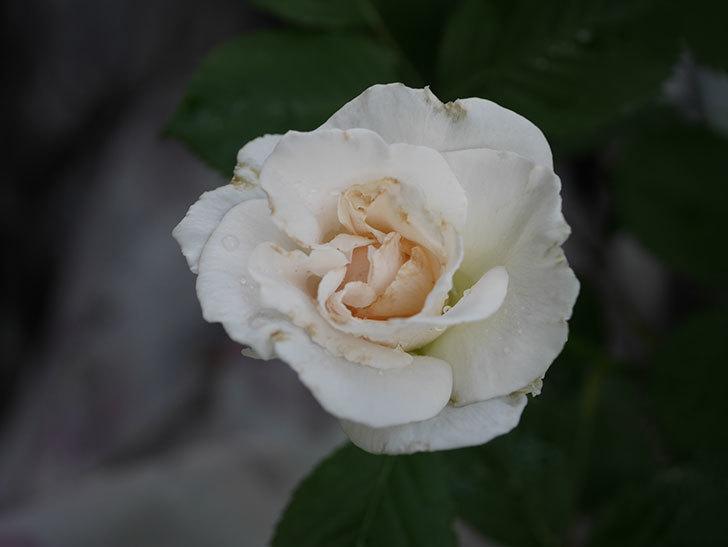 マーガレット・メリル(Margaret Merril)の2番花が更に咲いた。木立バラ。2020年-008.jpg