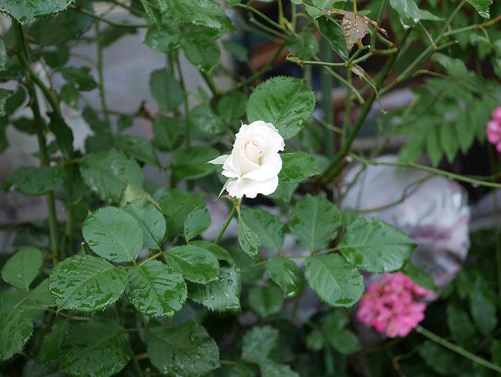 マーガレット・メリル(Margaret Merril)の2番花が更に咲いた。木立バラ。2020年-009.jpg