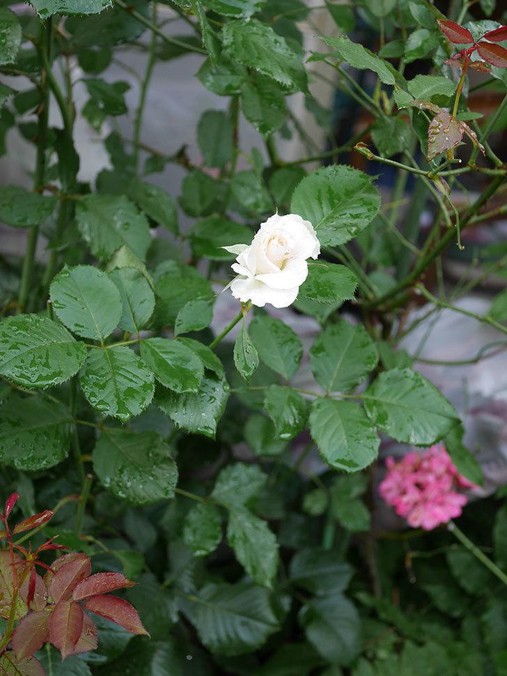 マーガレット・メリル(Margaret Merril)の2番花が更に咲いた。木立バラ。2020年-010.jpg