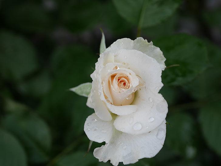 マーガレット・メリル(Margaret Merril)の2番花が更に咲いた。木立バラ。2020年-011.jpg