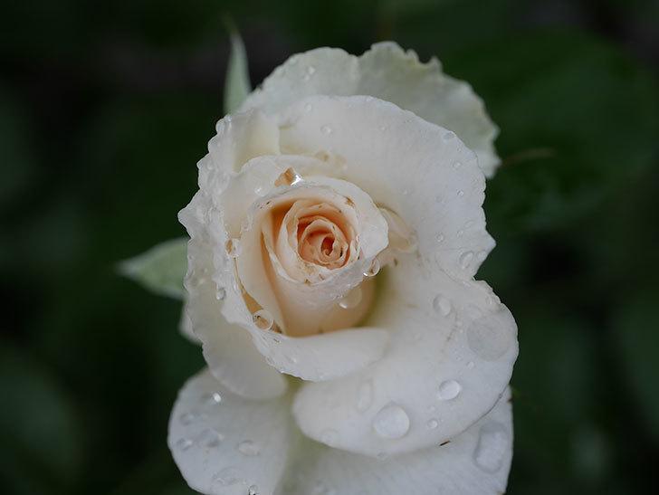 マーガレット・メリル(Margaret Merril)の2番花が更に咲いた。木立バラ。2020年-012.jpg