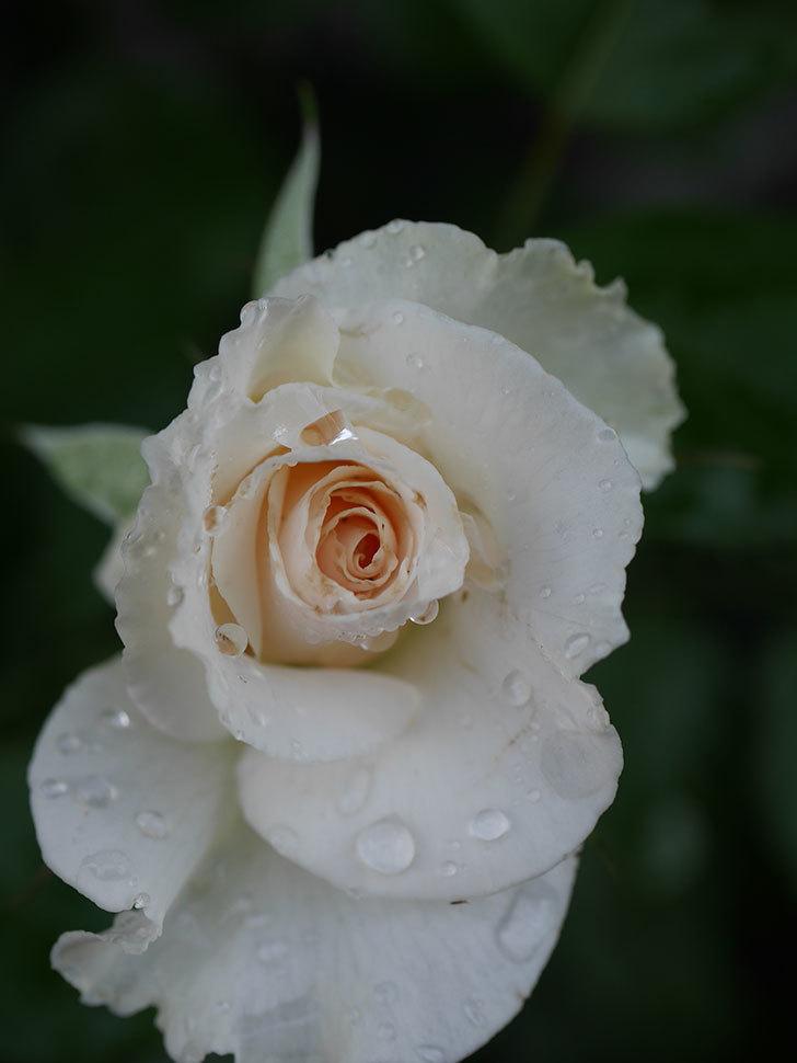 マーガレット・メリル(Margaret Merril)の2番花が更に咲いた。木立バラ。2020年-013.jpg