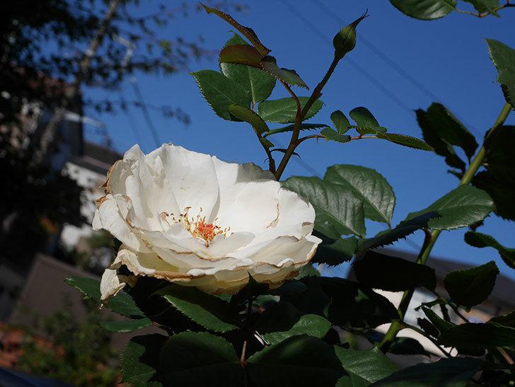 マーガレット・メリル(Margaret Merril)の秋花が咲いた。木立バラ。2020年-002.jpg