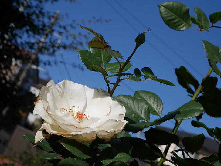 マーガレット・メリル(Margaret Merril)の秋花が咲いた。木立バラ。2020年-003.jpg