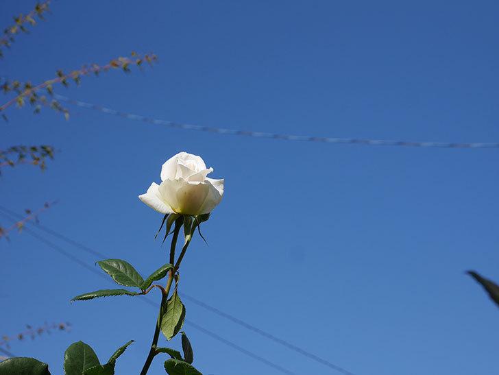 マーガレット・メリル(Margaret Merril)の秋花が咲いた。木立バラ。2020年-004.jpg