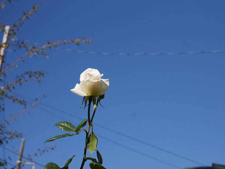 マーガレット・メリル(Margaret Merril)の秋花が咲いた。木立バラ。2020年-005.jpg