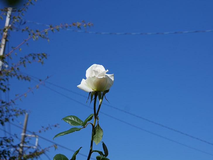 マーガレット・メリル(Margaret Merril)の秋花が咲いた。木立バラ。2020年-006.jpg