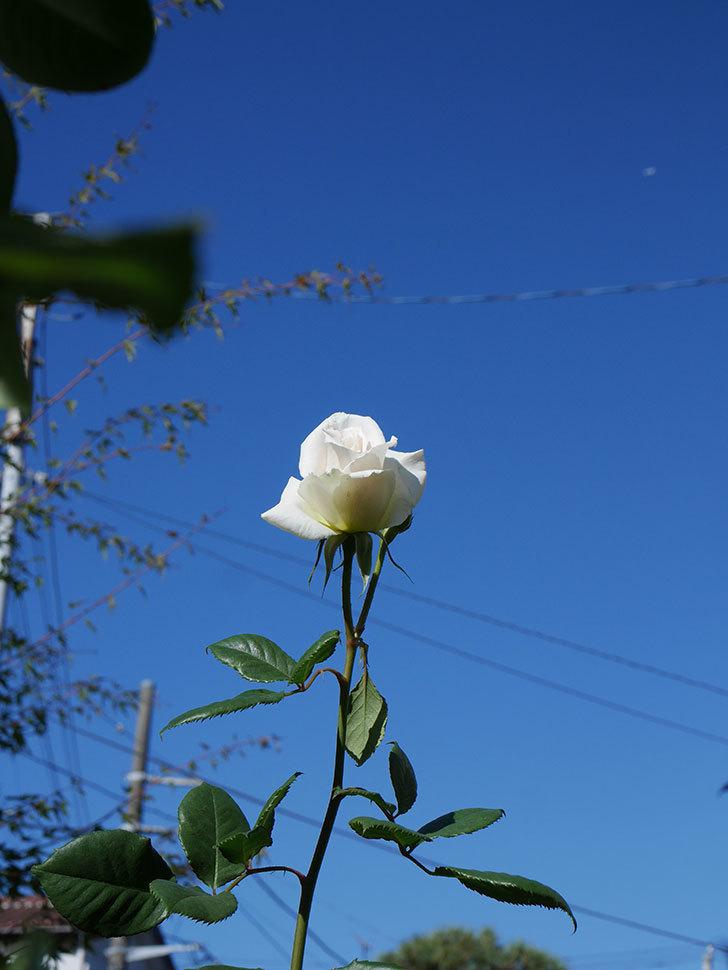 マーガレット・メリル(Margaret Merril)の秋花が咲いた。木立バラ。2020年-007.jpg
