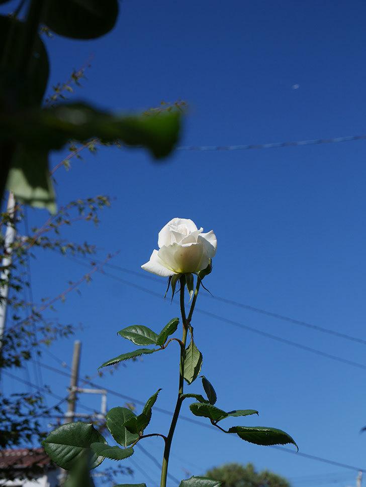 マーガレット・メリル(Margaret Merril)の秋花が咲いた。木立バラ。2020年-008.jpg