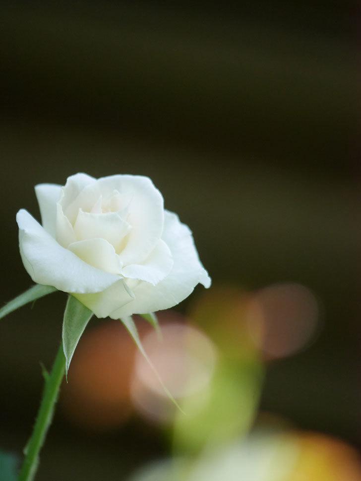 マーガレット・メリル(Margaret Merril)の秋花が咲いた。木立バラ。2021年-004.jpg
