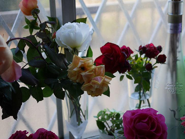 マーガレット・メリル(Margaret Merril)の秋花を切り花にした。木立バラ。2020年-001.jpg