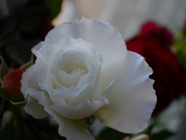 マーガレット・メリル(Margaret Merril)の秋花を切り花にした。木立バラ。2020年-002.jpg