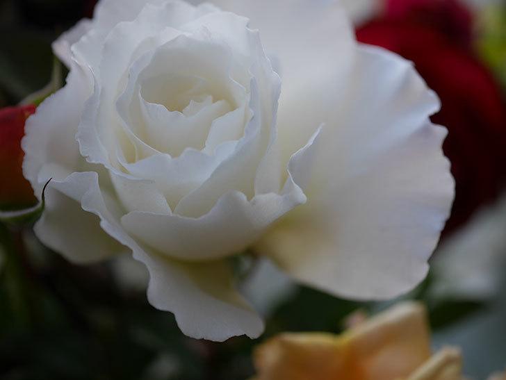 マーガレット・メリル(Margaret Merril)の秋花を切り花にした。木立バラ。2020年-003.jpg