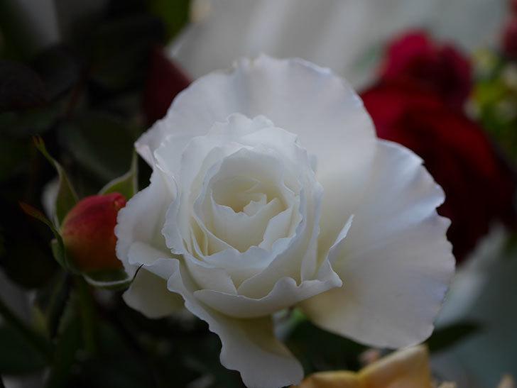 マーガレット・メリル(Margaret Merril)の秋花を切り花にした。木立バラ。2020年-004.jpg