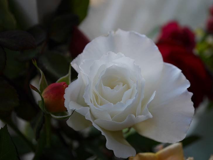 マーガレット・メリル(Margaret Merril)の秋花を切り花にした。木立バラ。2020年-005.jpg