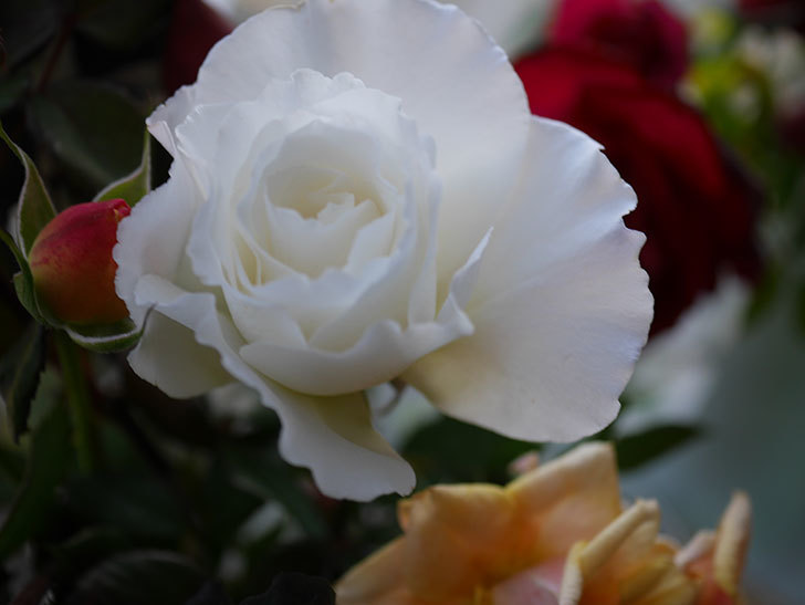 マーガレット・メリル(Margaret Merril)の秋花を切り花にした。木立バラ。2020年-006.jpg