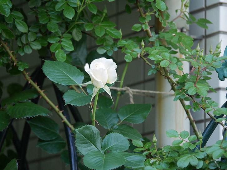 マーガレット・メリル(Margaret Merril)の花が咲いた。木立バラ。2021年-001.jpg