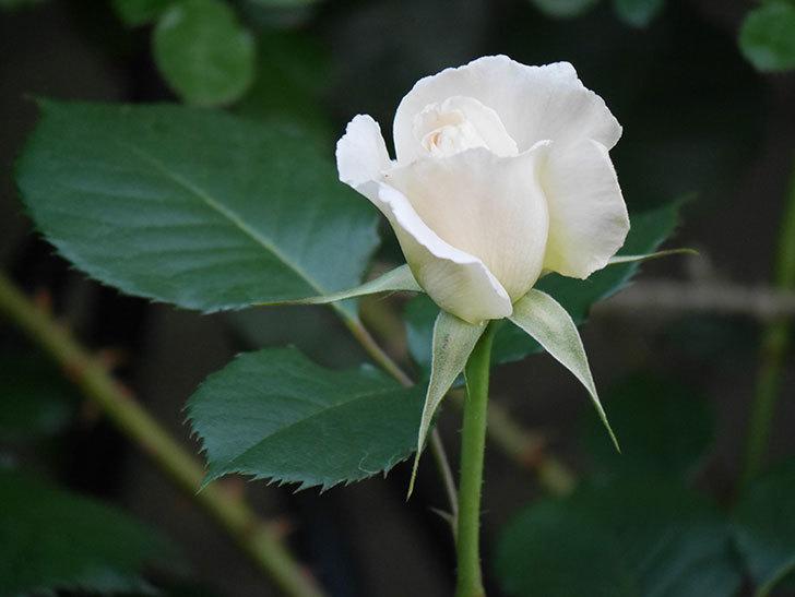 マーガレット・メリル(Margaret Merril)の花が咲いた。木立バラ。2021年-002.jpg