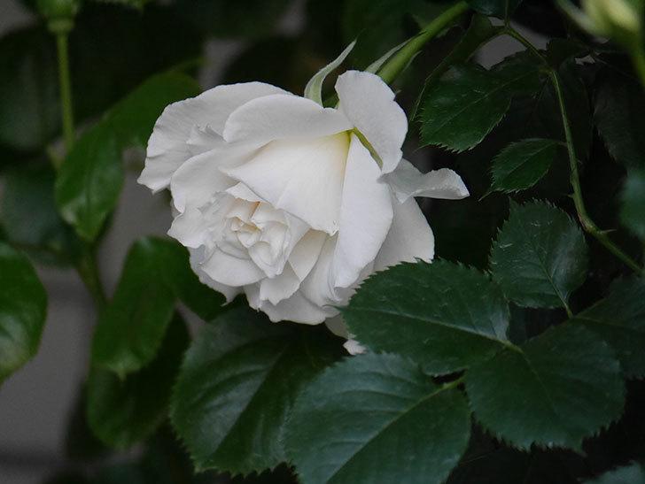 マーガレット・メリル(Margaret Merril)の花が咲いた。木立バラ。2021年-003.jpg