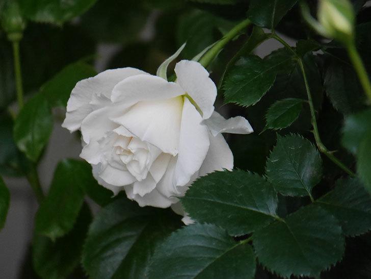 マーガレット・メリル(Margaret Merril)の花が咲いた。木立バラ。2021年-004.jpg