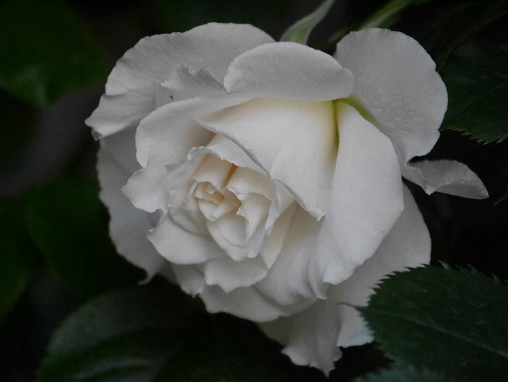 マーガレット・メリル(Margaret Merril)の花が咲いた。木立バラ。2021年-006.jpg