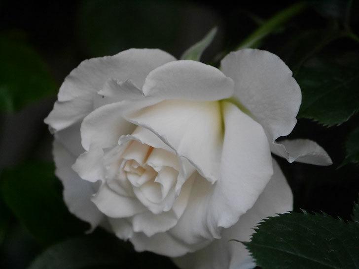 マーガレット・メリル(Margaret Merril)の花が咲いた。木立バラ。2021年-007.jpg