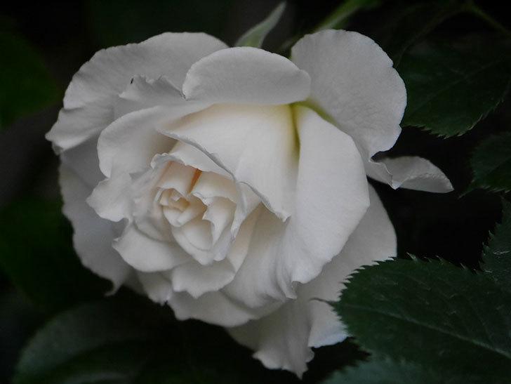 マーガレット・メリル(Margaret Merril)の花が咲いた。木立バラ。2021年-008.jpg