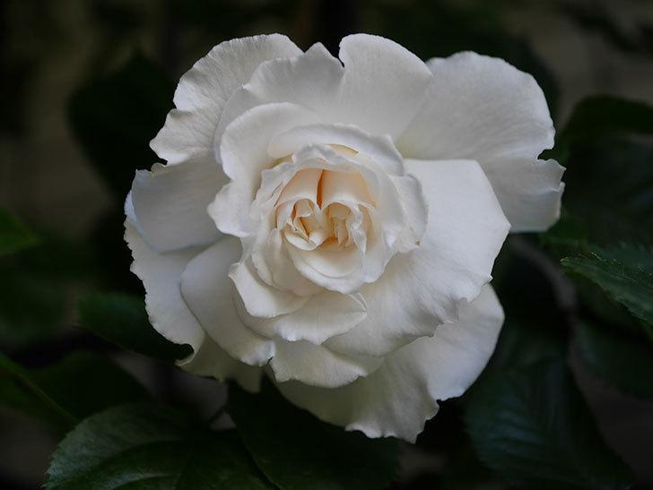 マーガレット・メリル(Margaret Merril)の花が咲いた。木立バラ。2021年-009.jpg