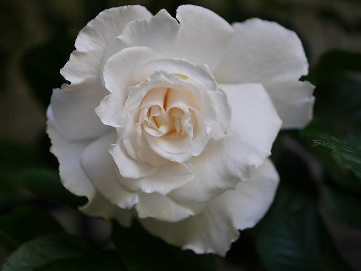 マーガレット・メリル(Margaret Merril)の花が咲いた。木立バラ。2021年-010.jpg