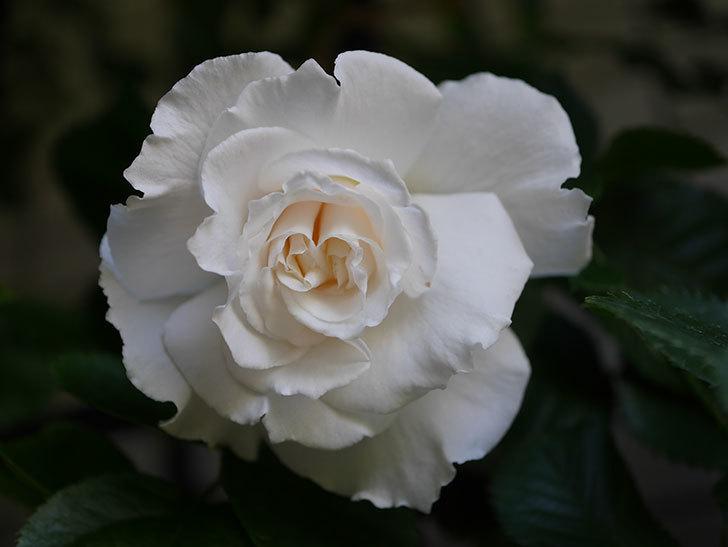 マーガレット・メリル(Margaret Merril)の花が咲いた。木立バラ。2021年-011.jpg