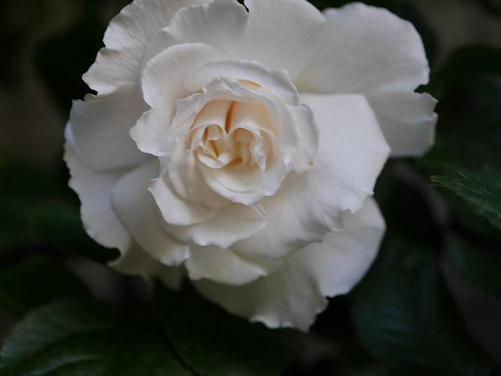 マーガレット・メリル(Margaret Merril)の花が咲いた。木立バラ。2021年-012.jpg