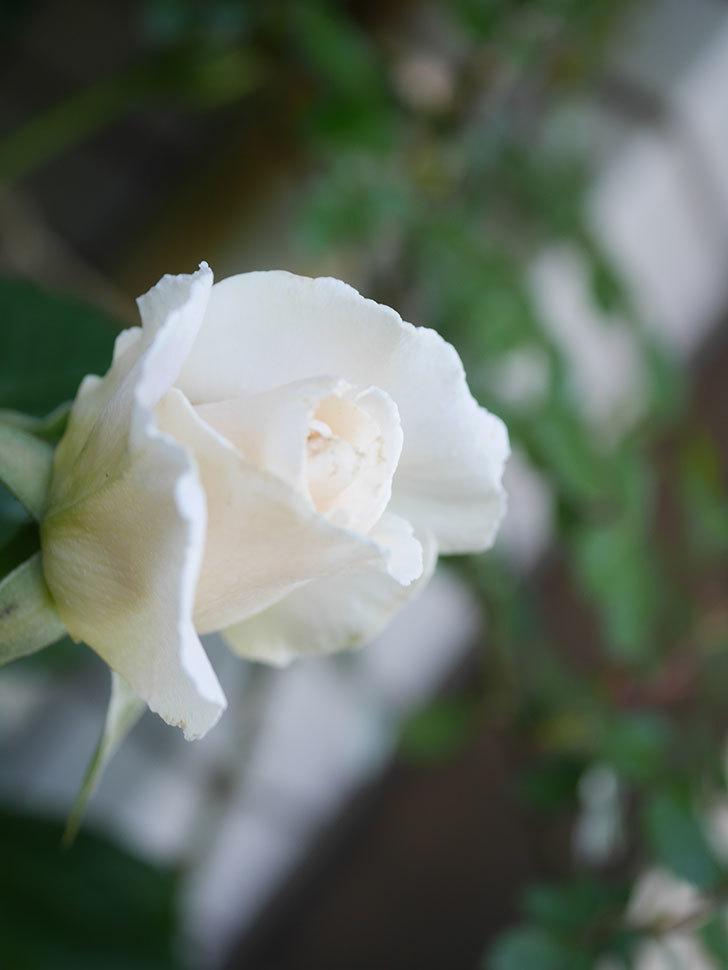 マーガレット・メリル(Margaret Merril)の花が咲いた。木立バラ。2021年-013.jpg