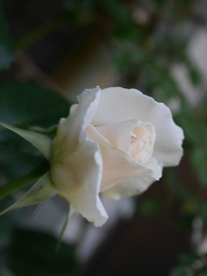マーガレット・メリル(Margaret Merril)の花が咲いた。木立バラ。2021年-014.jpg