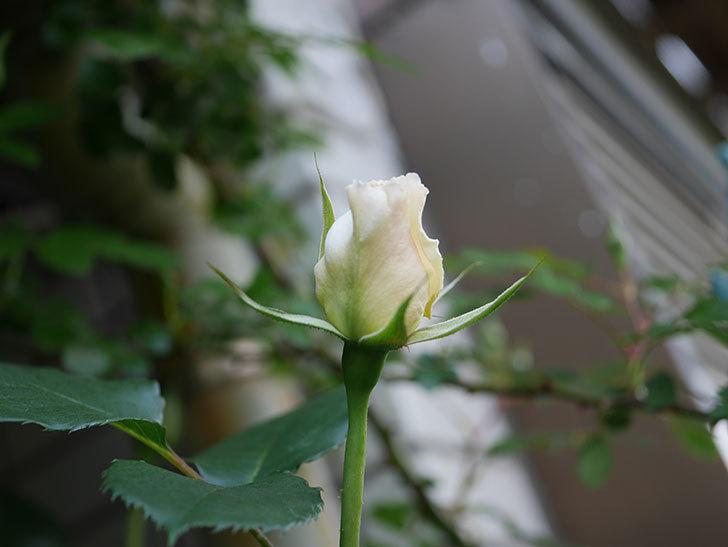 マーガレット・メリル(Margaret Merril)の花が少し咲いた。木立バラ。2021年-002.jpg