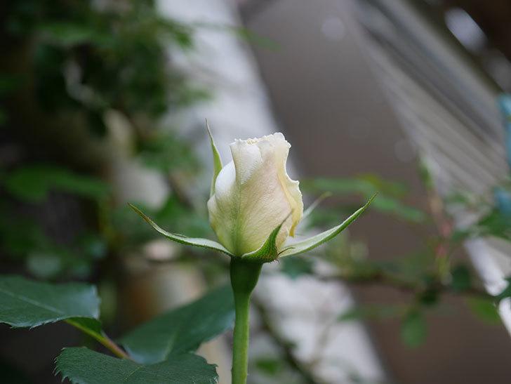マーガレット・メリル(Margaret Merril)の花が少し咲いた。木立バラ。2021年-003.jpg