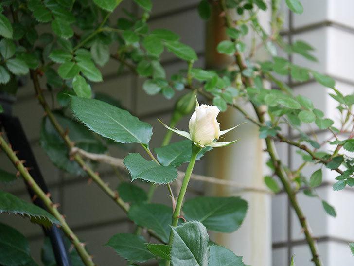 マーガレット・メリル(Margaret Merril)の花が少し咲いた。木立バラ。2021年-008.jpg
