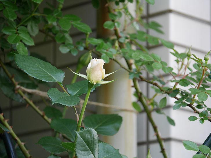 マーガレット・メリル(Margaret Merril)の花が少し咲いた。木立バラ。2021年-009.jpg