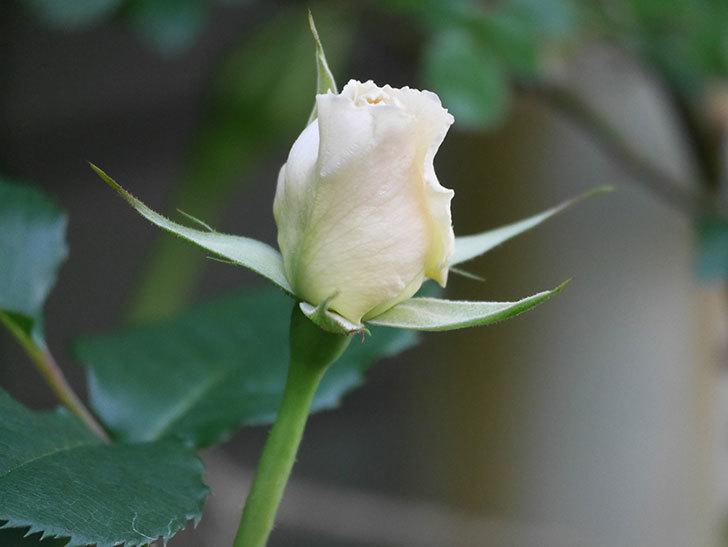 マーガレット・メリル(Margaret Merril)の花が少し咲いた。木立バラ。2021年-010.jpg