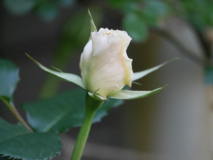 マーガレット・メリル(Margaret Merril)の花が少し咲いた。木立バラ。2021年-011.jpg