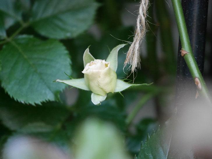 マーガレット・メリル(Margaret Merril)の花が少し咲いた。木立バラ。2021年-012.jpg