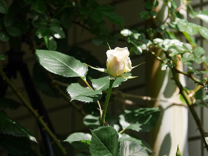 マーガレット・メリル(Margaret Merril)の花が少し咲いた。木立バラ。2021年-013.jpg