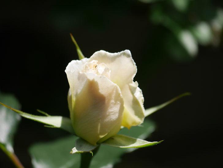 マーガレット・メリル(Margaret Merril)の花が少し咲いた。木立バラ。2021年-014.jpg