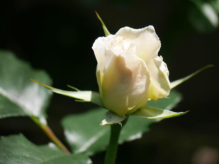 マーガレット・メリル(Margaret Merril)の花が少し咲いた。木立バラ。2021年-015.jpg